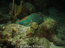 Parrotfish on a night dive at the Salt Pier in Bonaire by Jeffrey Richards 